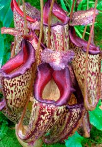 Nepentaceas-1