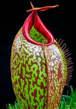 Nepentáceas o Nepenthes plantas carnívoras