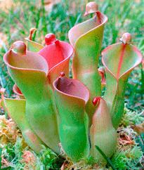 Sarraceniaceae-1
