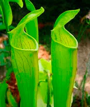 Sarraceniaceae ó Sarraceniáceas plantas carnívoras
