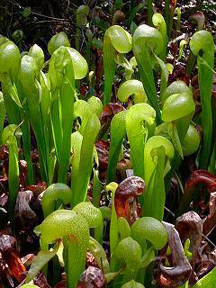 Clasificación plantas carnívoras